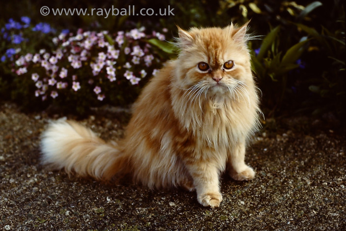 Pet photography cats dogs etc. (Pictured, beautiful cat in Wimbledon garden SW20 by Epsom Photography, Surrey).