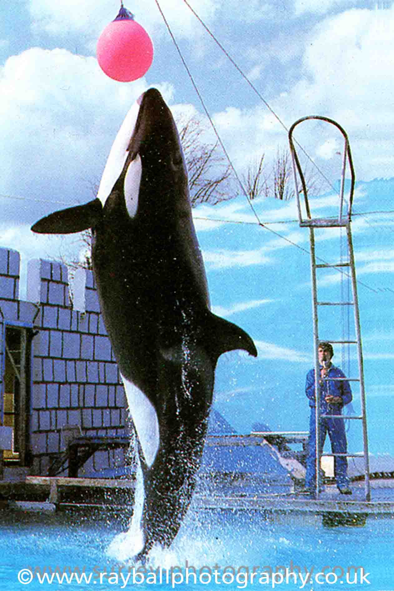 commercial-photography-orca-whale-at-Windser-Safari-Park-by-Epsom-Photography Surrey.