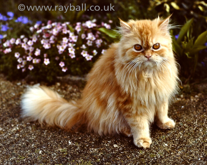 Portrait photograph of beautiful pet cat in Stoke D'Abernon, Elmbridge, Surrey