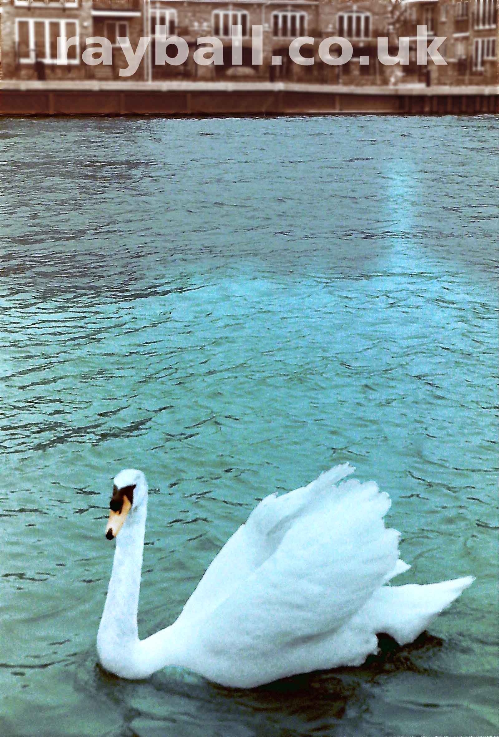 My picture of beautiful swan on the river at Surbiton, Kingston upon Thames.
