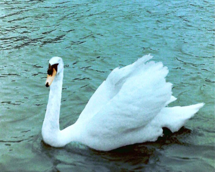 Cob (Cygnus olor) 'busking' on Carshalton Pond in South London